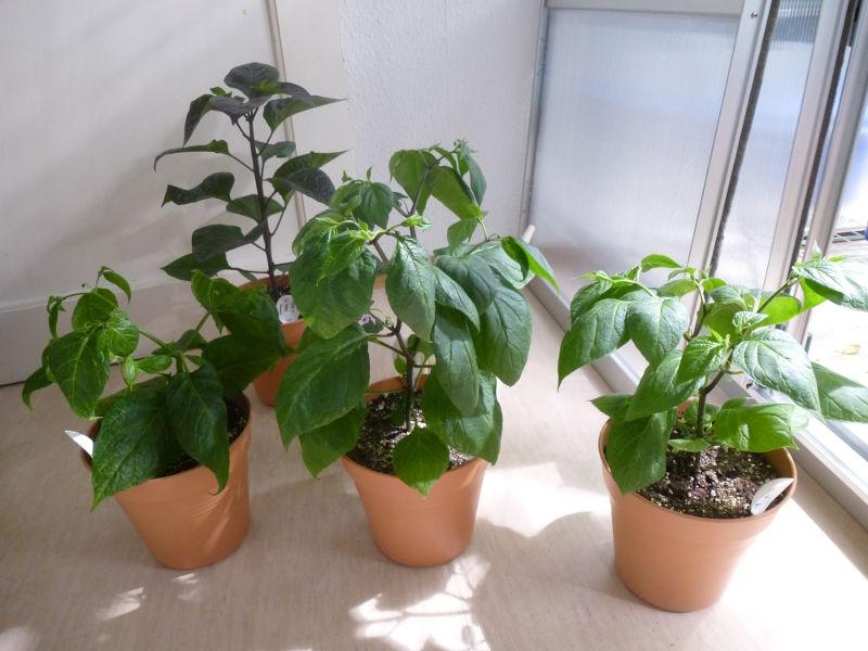 Jungpflanzen_20140118.JPG